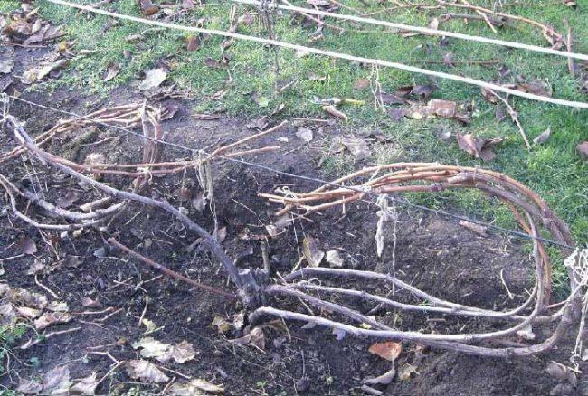 Виноградная лоза ранней весной, подвязка веток к проволоке и санитарная обрезка