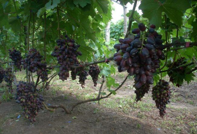 Созревающие грозди винограда Атос, выращенного из прививки на старый куст