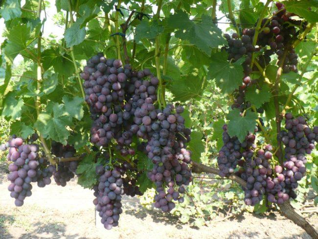 Ветки винограда с большим количеством созревающих кистей рыхлой структуры