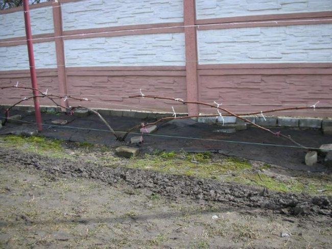 Виноградная лоза ранней весной, формирование куста в виде двухрукавного веера