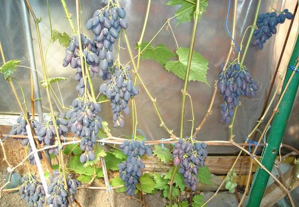 Молодая лоза винограда сорта Кодрянка раннего срока согревания на проволочной шпалере
