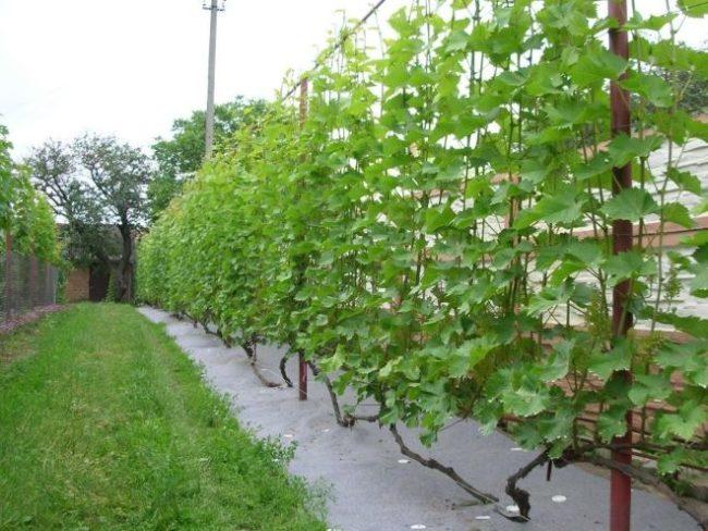 Высокая шпалера на трубах с виноградной лозой вдоль глухого забора и газон с травой