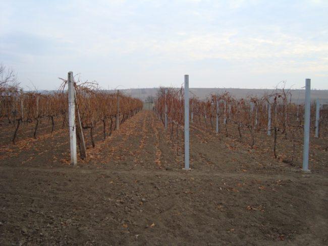 Ряды высоких шпалер с виноградной лозой в индустриальном хозяйстве
