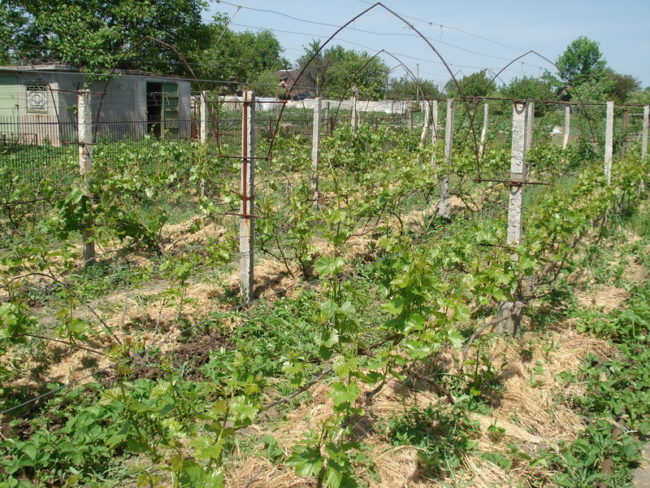 Виноградник в начале вегетации и железобетонные столбы шпалеры