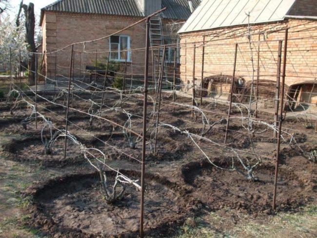 Виноградник на частном участке: шпалеры из проволоки, натянутой между стальными столбами