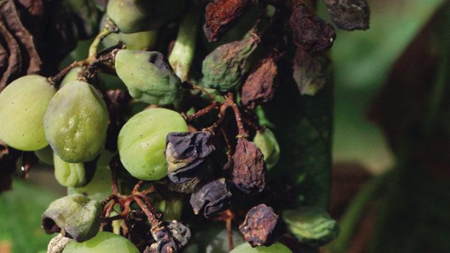 Пропавшие ягоды в кисти винограда
