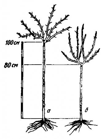 Высота штамба крыжовника в зависимости от толщины используемого подвоя