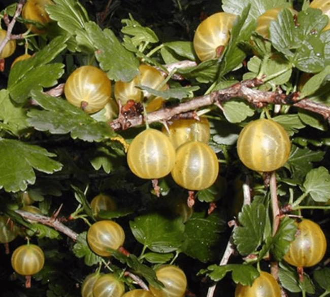 Стебли крыжовника сорта Янтарный с зелеными листьями и ягодами в начальной стадии спелости
