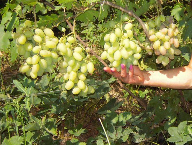 Модой кустарник винограда с зелёными ягодами, рука человека