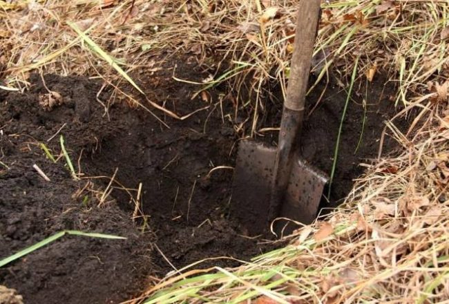 Лунка для посадки саженца крыжовника сорта Уральский бесшипный и дерновая земля вокруг посадочной ямы