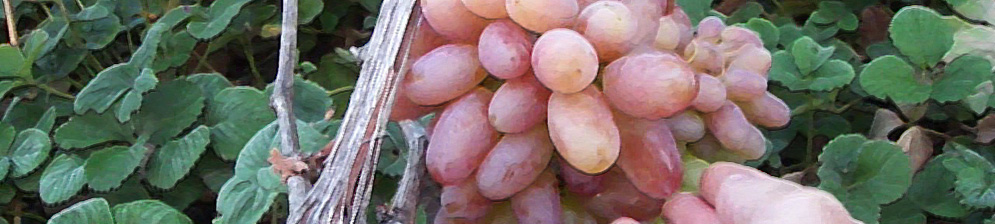 Спелая гроздь винограда Юбилей Новочеркасска и кусты клубники