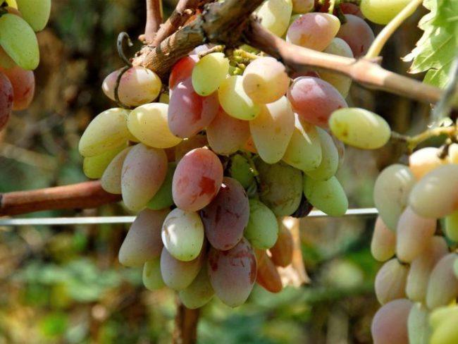 Ягоды винограда сорта Юлиан висят на ветви