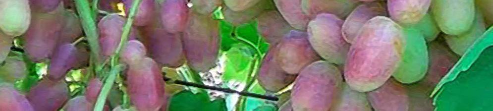 Виноград сорта Юлиан спелые плоды