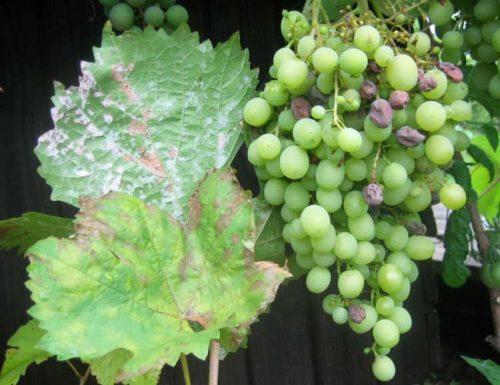Листва и плоды винограда поражены оидиумом