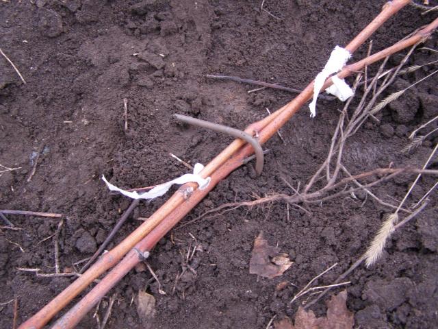 Виноградные ветки на земле и Г-образная скоба из стальной проволоки