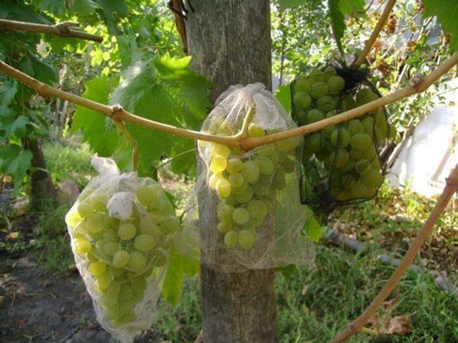 Ветви зелёного винограда, закрытые сеткой