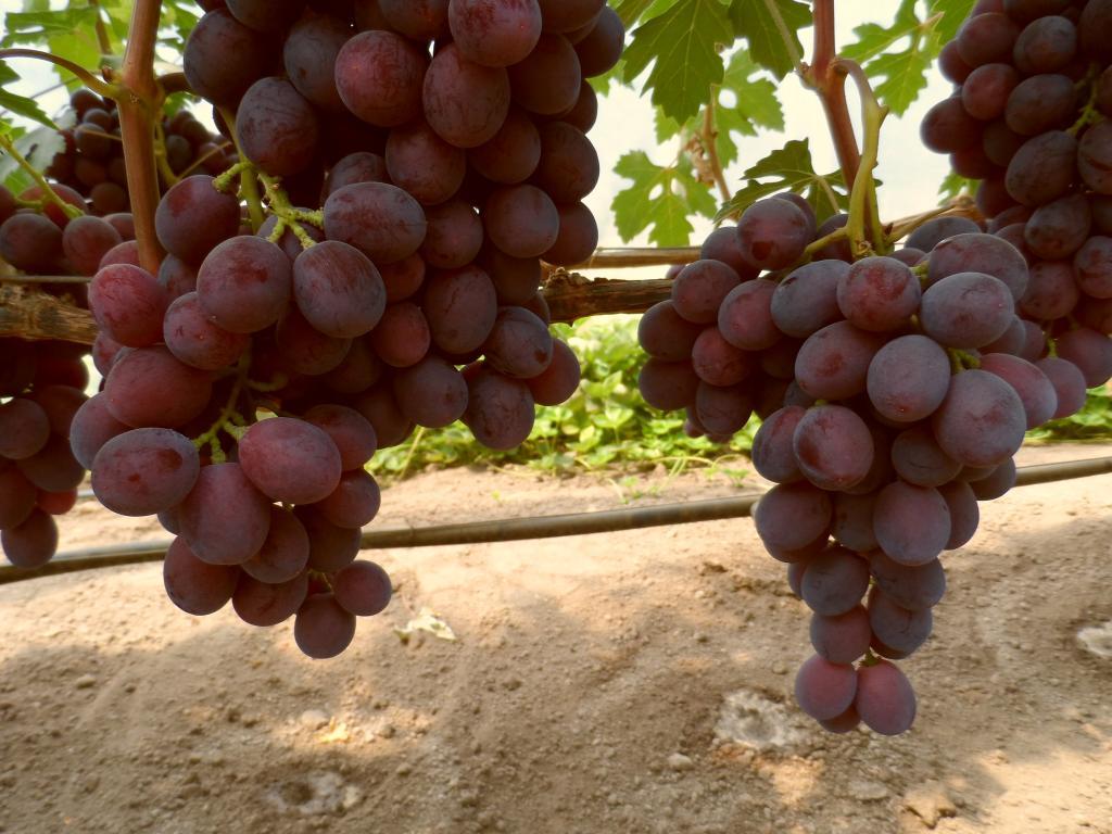 просьбам виноград подарок несветая описание сорта фото представитель флоры обладает