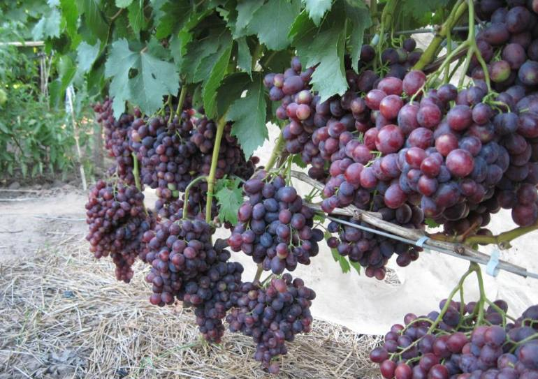 виноград подарок несветая описание сорта фото новых друзей