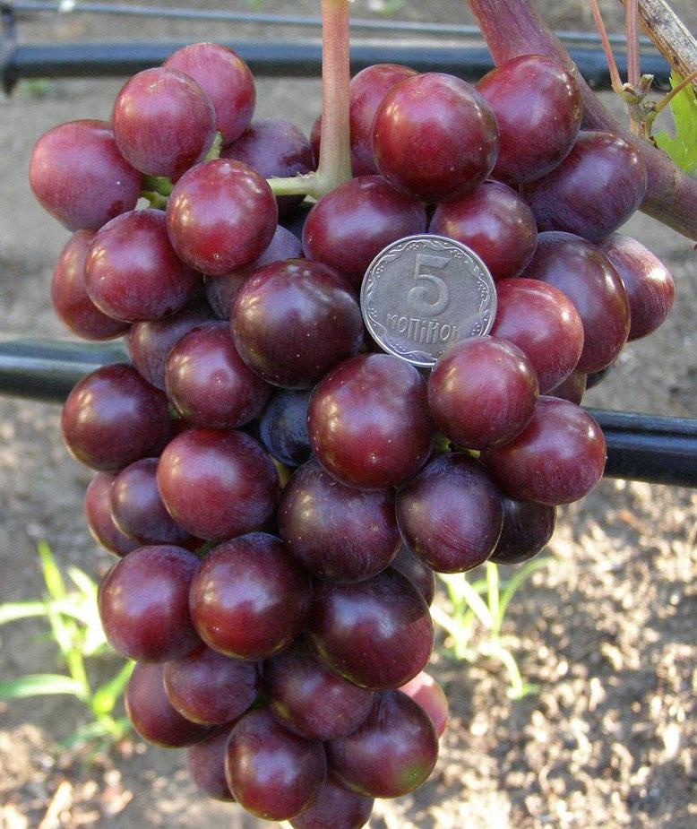 пожелания для виноград подарок несветая описание сорта фото нам внедорожник