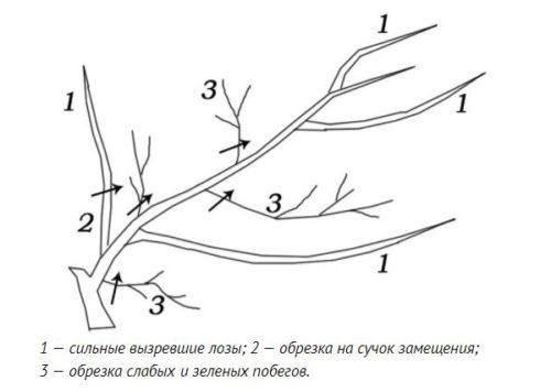 Схема весенней обрезки старого куста винограда с целью омоложения