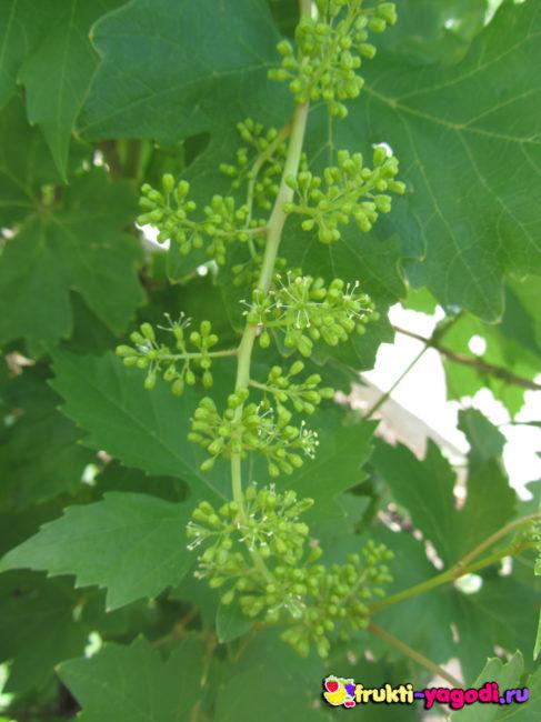 Здоровая новая завязь винограда вблизи