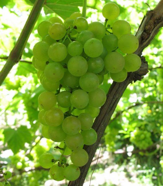 Кисть винограда сорта Платовский вблизи крупным планом, ягоды зеленого цвета