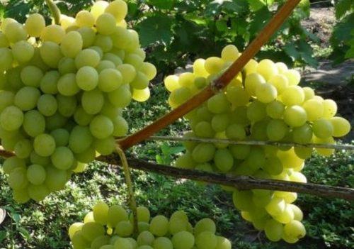 Крупные грозди зелёного винограда на кусте без листьев