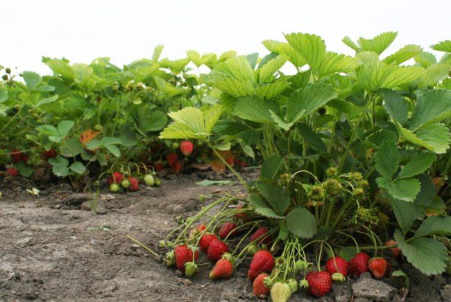 Крепкие кусты клубники Полка и ягоды в начальной стадии созревания