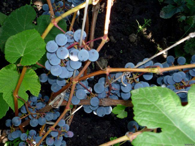 Синий виноград на ветке с зелёными листьями