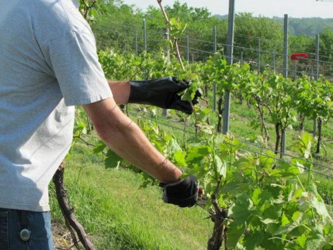 Мужчина в чёрных перчатках поправляет кусты винограда