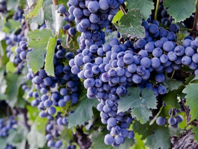 много крупных гроздей винограда в листве
