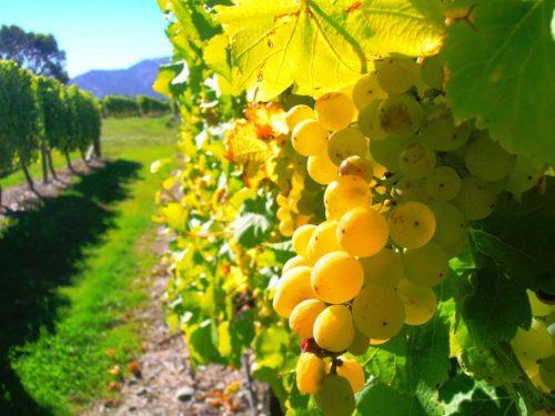 Ветви зелёного винограда блестят на солнце