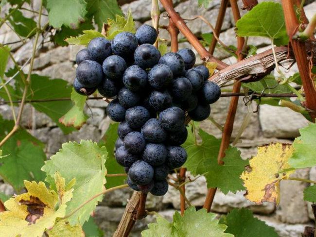 Гроздь синего винограда висит на ветке виноградника
