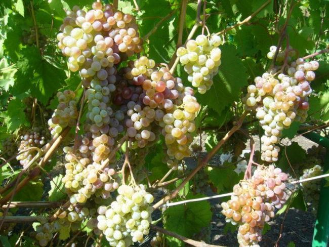 Много крупных гроздей винограда на кусте