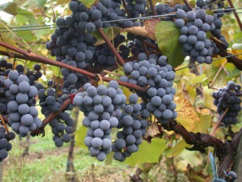 Грозди синего винограда висят на кусте