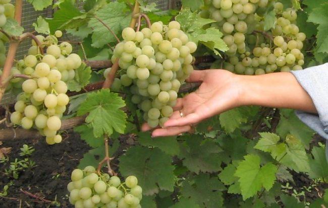 Женская рука держит гроздь зелёного винограда, который растёт на кусте