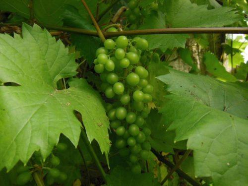 Ветка зелёного винограда в листьях