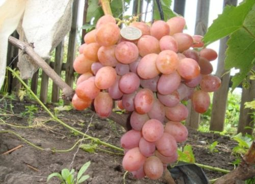 Крупная гроздь винограда висит на ветке, копейка