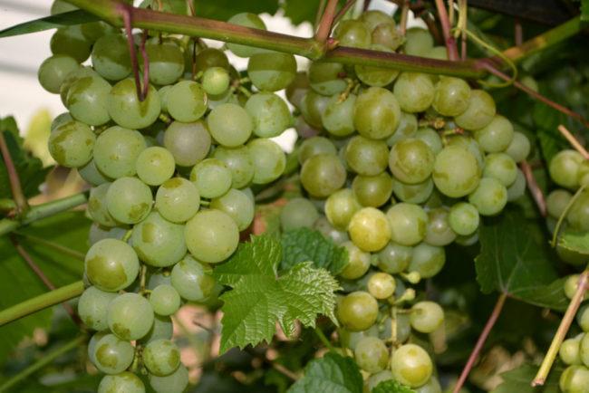 Кисти винограда с крупными зелеными ягодами