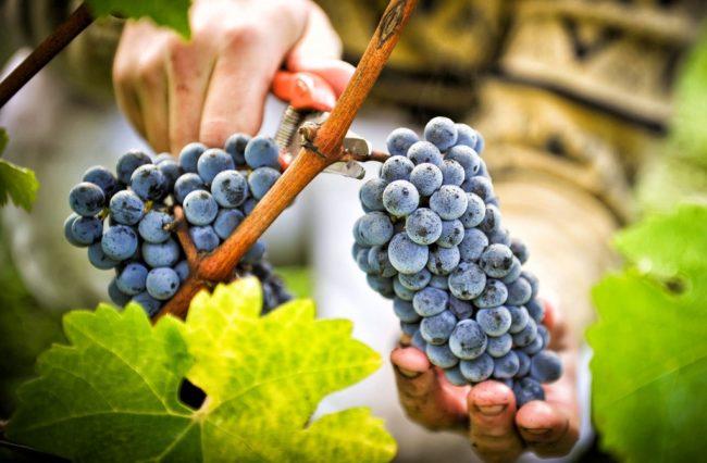 Человек обрезает секатором гроздь синего винограда