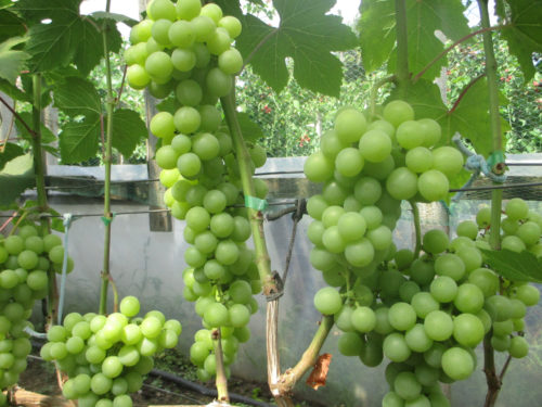 Большие грозди зелёного винограда висят на ветве