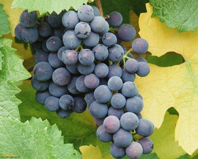 Гроздь синего винограда Муромец с жёлтым и зелёным листьями