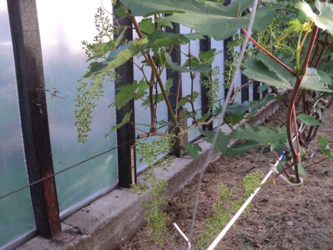 Молодые ветви виноградника начинают цвести