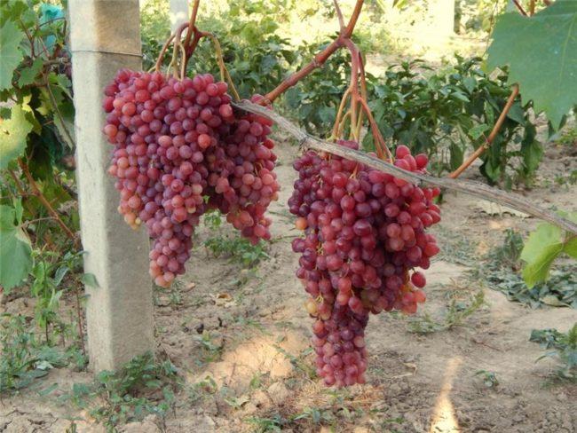 Вызревшие гроздья винограда Велес на лозе