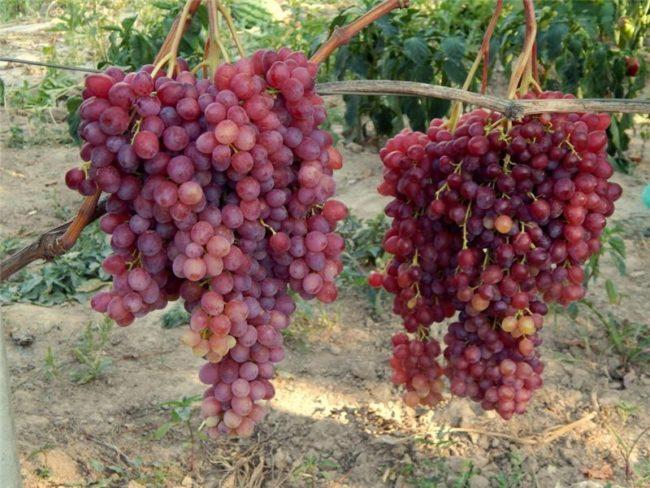 Гроздья винограда Велес на кусте