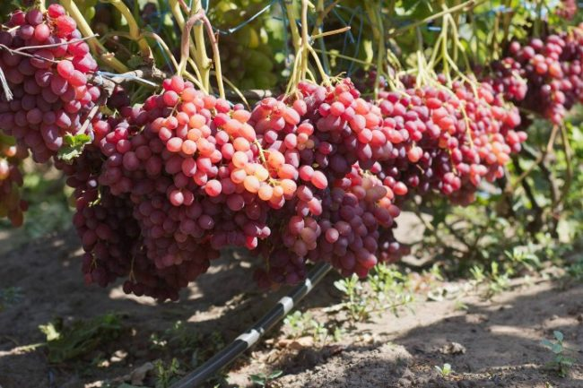 Спелые гроздья винограда сорта Велес с розовыми ягодами