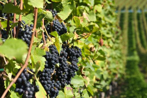 Кисти черного винограда висят на кусте с листьями