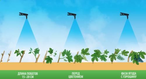 Схема обработки виноградной лозы за сезон