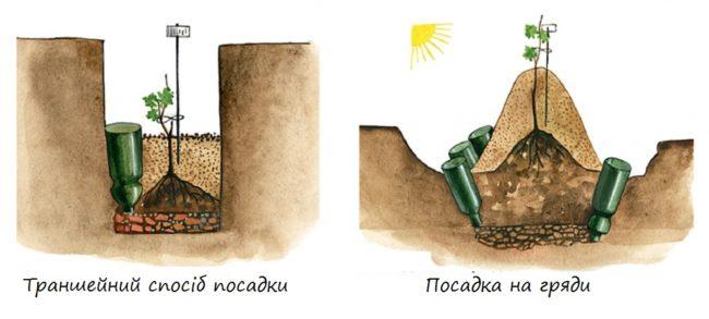 Схема посадки молодого винограда