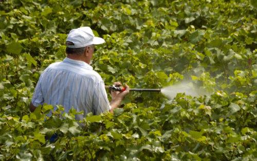 Мужчина в кепке опрыскивает виноградную лозу